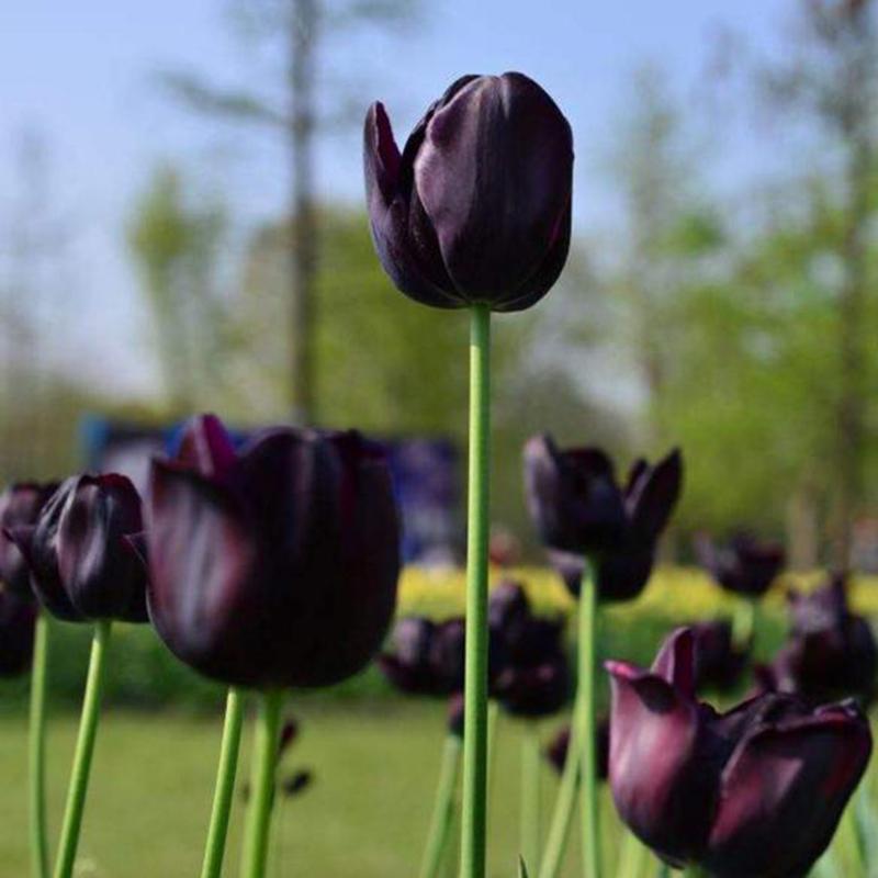 [The Besteffie] Cpz 100 Chiếc Chân Thực Nhân Tạo Màu Đỏ Hồng Trắng Hoa Tulip Hạt Giống Hoa Tulip